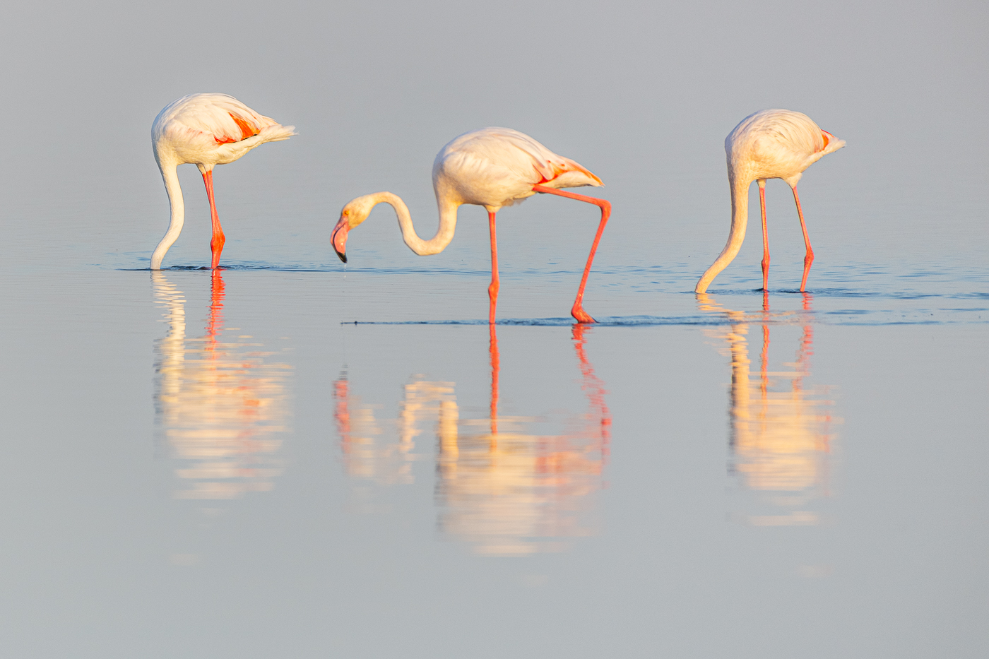 PRINT-50Open_Lily_Chang_2_Flamingos_Feeding_in_Walvis_Bay